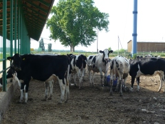 The cows here have a lot of area to roam.