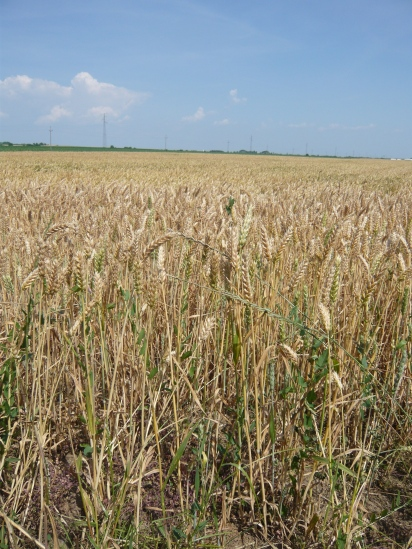 Wheat is one of the most common crops. We also saw a lot of corn and beets that they use to make sugar.